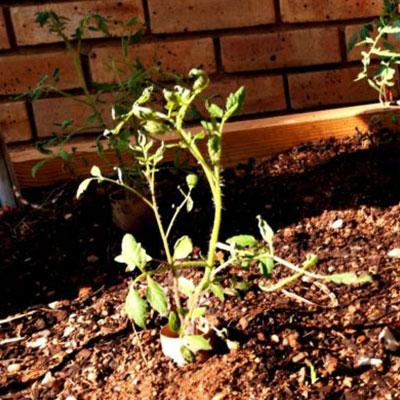 overripe cherry tomatoe eco balance anthea campbell