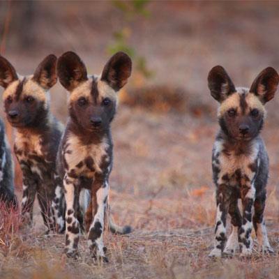 ecobalance-lifestyle-painted-dogs-tintswalo