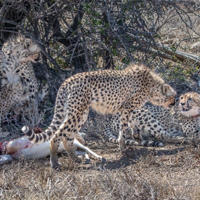 ebl-kuzuko-lodge-cheetah-4-month-old-cubs